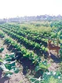 o Nico muito atento a observar a horta