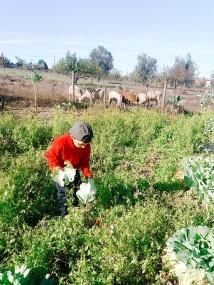 o meu sobrinho empenhado em apanhar os legumes